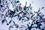 Tulips, Spring, Snow, Almaty, Kazakhstan
