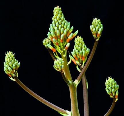 Aloe vera flower bud