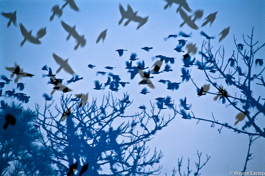 Black Birds in flight