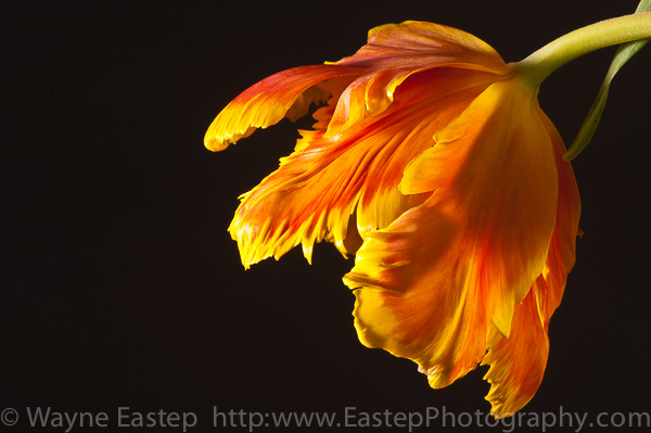 nature, tulip, parrot tulip, flower, art, photography, photograph