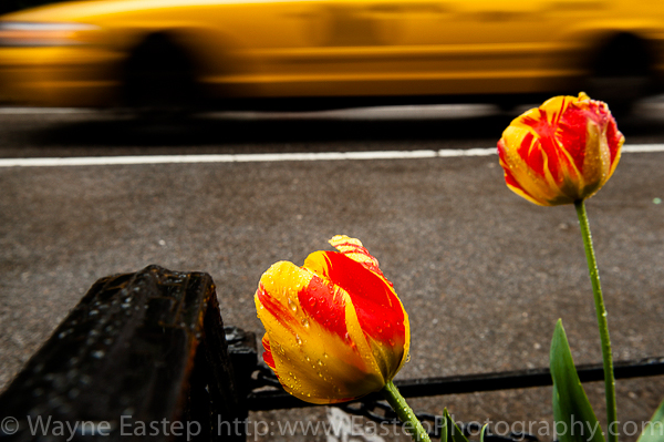 New York, New York City, art, flower, parrot tulip, tulip, art, photograph, photography,