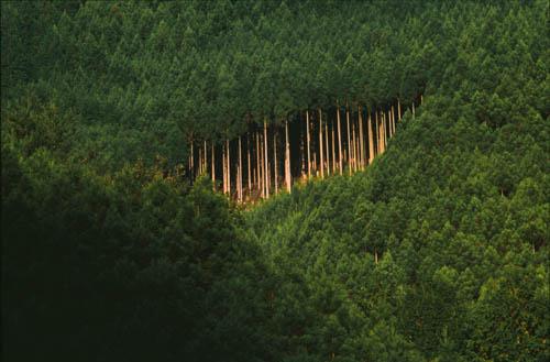 Japanese cedar trees near Kyoto, Japan.