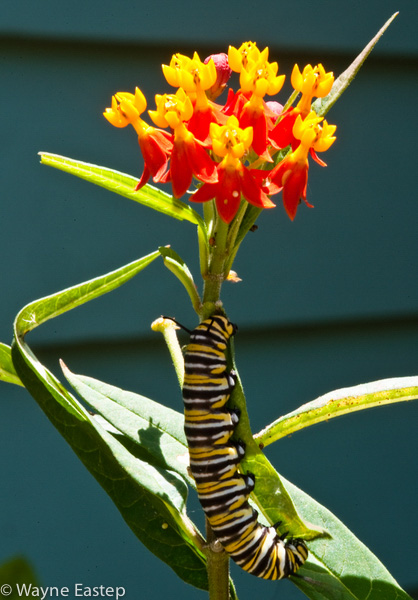 Catipillar, Florida, Monarch Butterfly, Sarasota