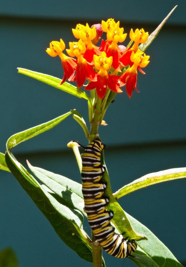 Asclepias curassavica, caterpillar, Catipillar, Florida, Milkweed, Monarch, Monarch Butterfly, monarch caterpillar, Sarasota, tropical milkweed