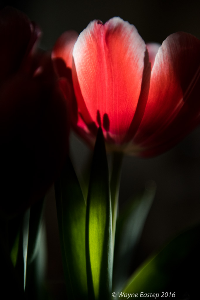 blossoms, buds, Close-up, close-up-images, close-up-photographs, flower-art, flowers, macro-photographs, Parrot-Tulip, petals, Tulips