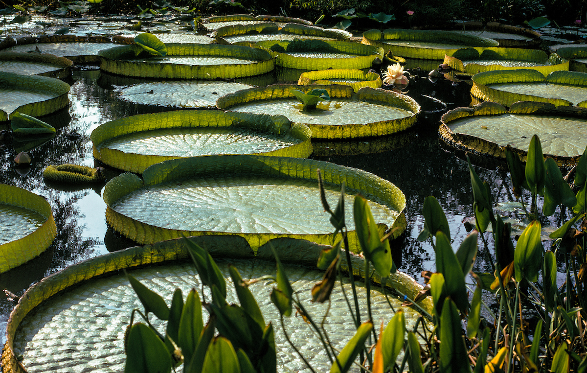 Elephant-ears, Water, Aquatic-gardens, Washington-DC,