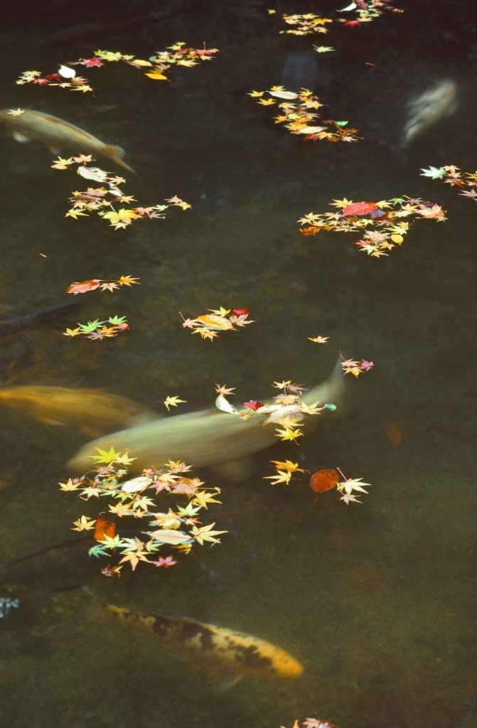 Carp, Maple Leaves, Sanzen-in, Kyoto, Japan