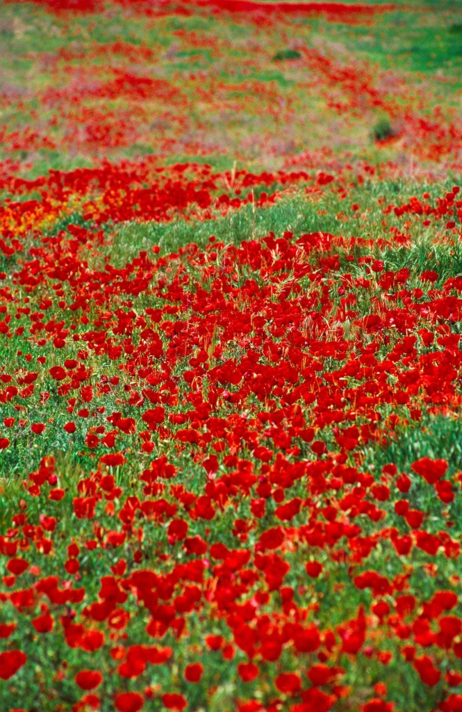 Poppies, Ordabasy, Kazakhstan